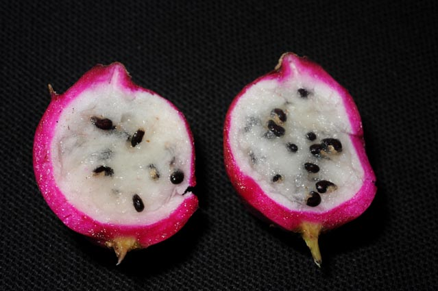 epiphyllum  u0026 39 guatemalense monstrosa u0026 39   fruit
